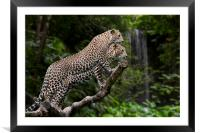 Leopards in Rain Forest, Framed Mounted Print
