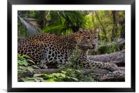 Leopard in Tropical Rainforest, Framed Mounted Print