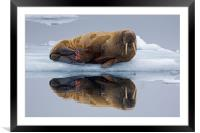 Walrus in Svalbard, Framed Mounted Print