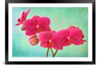 Orchid Magenta, Framed Mounted Print