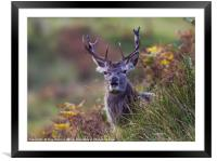Stag in the ferns, Framed Mounted Print
