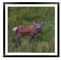 Inquisitive Highland Stag , Framed Mounted Print