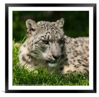 Curious Snow Leopard, Framed Mounted Print