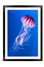 Pink Jellyfish in deep blue water, Framed Mounted Print