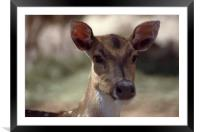 Deer portrayed at African Lion safari in 1993, Framed Mounted Print