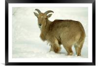 Sweet Barbary sheep (Ammotragus lervia), High Park, Framed Mounted Print