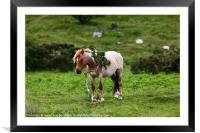 Wild Pony having a scratch Bodmin Moor Cornwall, Framed Mounted Print