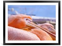 Pink pelicans in paphos harbour, Framed Mounted Print