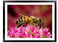 The Honey Bee at Work, Framed Mounted Print