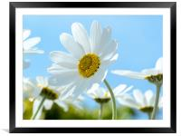 Oxeye Daisies., Framed Mounted Print