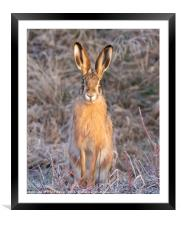 European (Brown) Hare, Framed Mounted Print