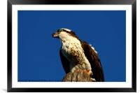 Sanibel Island Osprey With His Dinner Leftovers, Framed Mounted Print