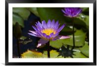 Purple Water Lilies close up , Framed Mounted Print