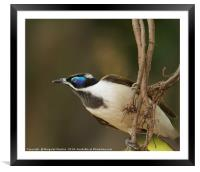 Blue-faced Honeyeater , Framed Mounted Print