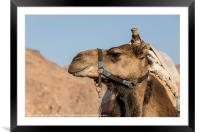 a camel in the desert of israel on the border of e, Framed Mounted Print
