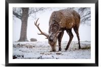 Red Deer Stag in Snow, Framed Mounted Print