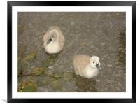 Cygnets testing the water, Framed Mounted Print