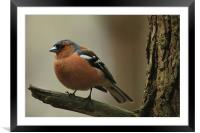 Chaffinch on a branch, Framed Mounted Print