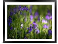 Down in the Bluebell Wood, Framed Mounted Print