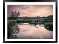 Swans Heading Home, Framed Mounted Print