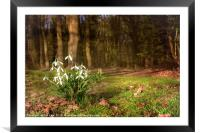 Snowdrops in  Woodland, Framed Mounted Print