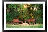Two horses eating hay under morning sun, Framed Mounted Print
