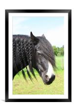 Shire horse with plaited mane, Framed Mounted Print