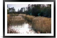 Reed beds at Wicken Fen , Framed Mounted Print