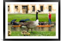 Canadian goose with newly born baby goslings, Framed Mounted Print