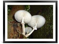 Porcelain fungus, Epping Forest., Framed Mounted Print