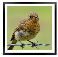 Young robin, Framed Mounted Print
