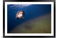 One Dolphin swimming in the Red Sea, Eilat Israel , Framed Mounted Print