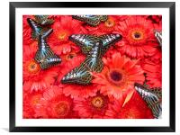 Blue Clipper butterfly, Framed Mounted Print