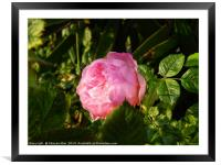 A single pink rose flower, Framed Mounted Print