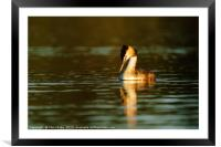 Great Crested Grebe looking down into water, Framed Mounted Print