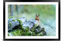 red squirrel nibbling on a nut, Framed Mounted Print