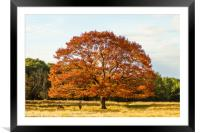 Red deer stag under a beautiful red oak tree, Framed Mounted Print