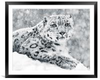 Snow Leopard In Snow Storm III, Framed Mounted Print