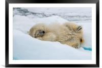 Polar bear rolling on the ice, Framed Mounted Print