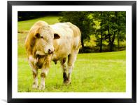 My friend the young Charolais bull, Framed Mounted Print