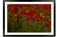 Red poppies of West Pentire  Cornwall, Framed Mounted Print