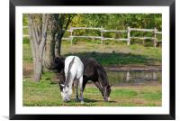 white and black horse, Framed Mounted Print