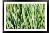 dew drop on green wheat close up, Framed Mounted Print