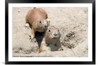 two prairie dogs watching from hole, Framed Mounted Print