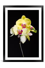 Yellow Orchids Still Life , Framed Mounted Print