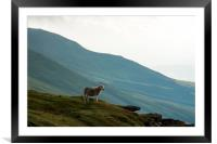 A sheep looking out from the escarpment and hills , Framed Mounted Print