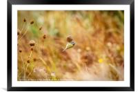 Blue Tit on seed head, Framed Mounted Print