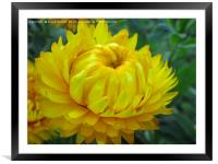A yellow Dahlia in bloom, Framed Mounted Print