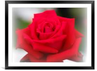 A single red rose in bloom, Framed Mounted Print