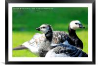 Gosling and Adult Barnacle Goose, Framed Mounted Print